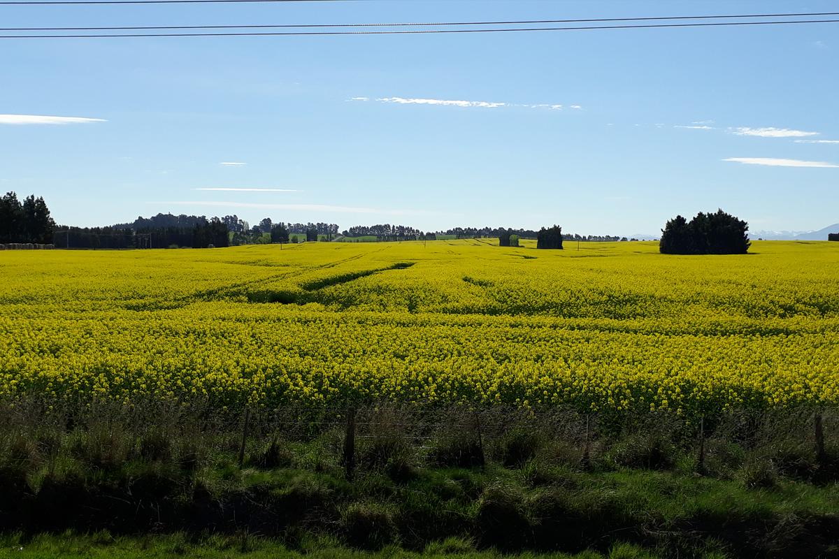 rapeseed-crop