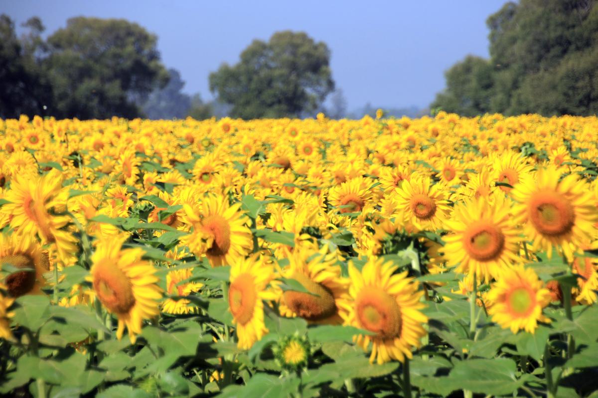 sunflower-crop-10