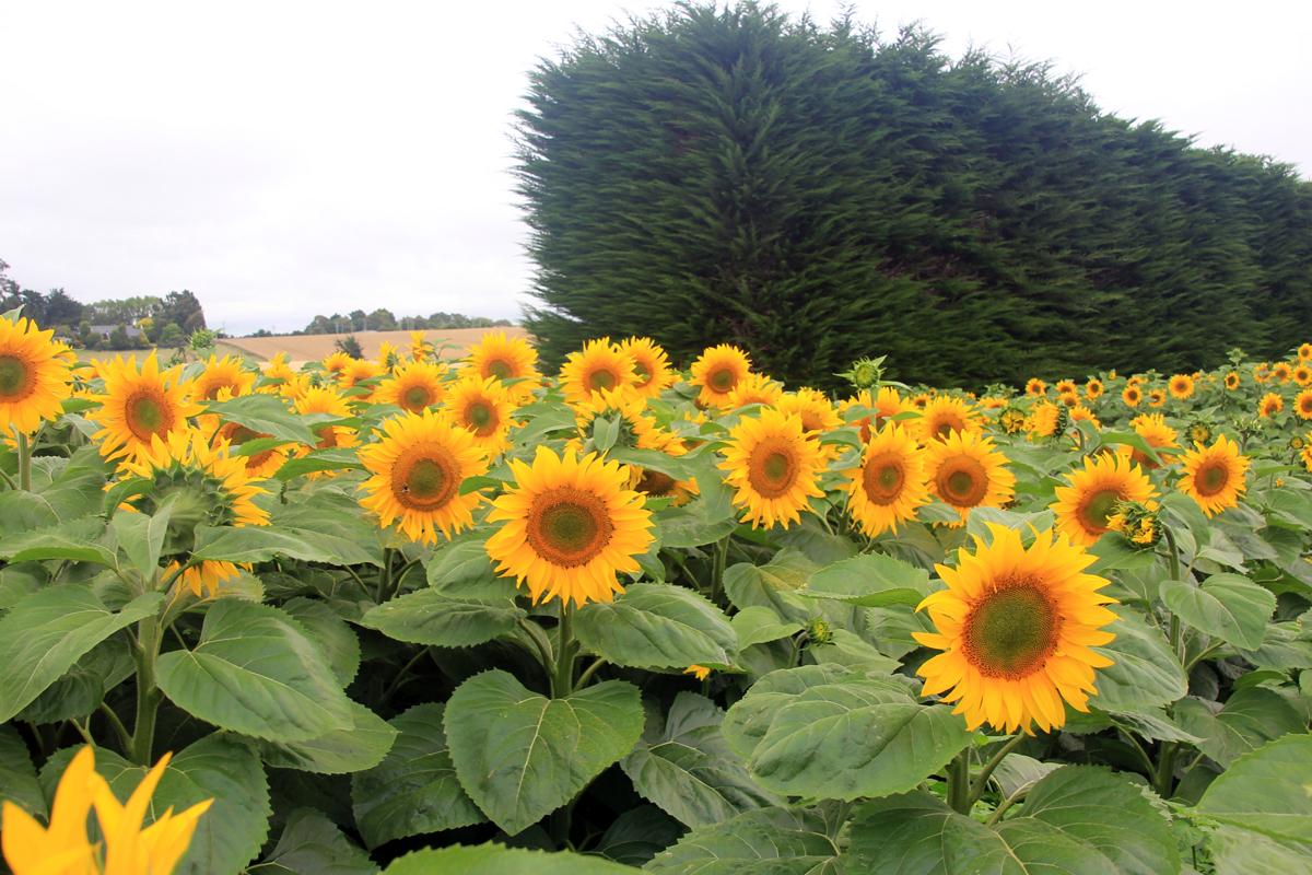 sunflower-crop-11