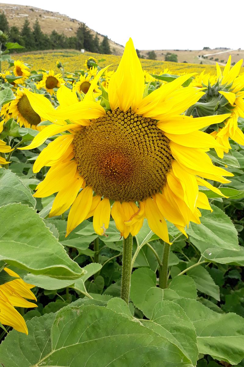 sunflower-crop-13