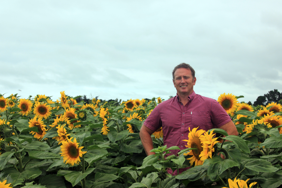 sunflower-crop-5