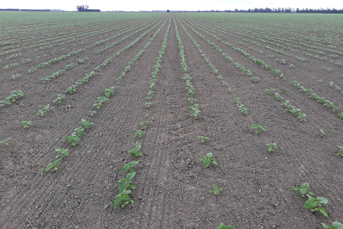 sunflower-crop-7