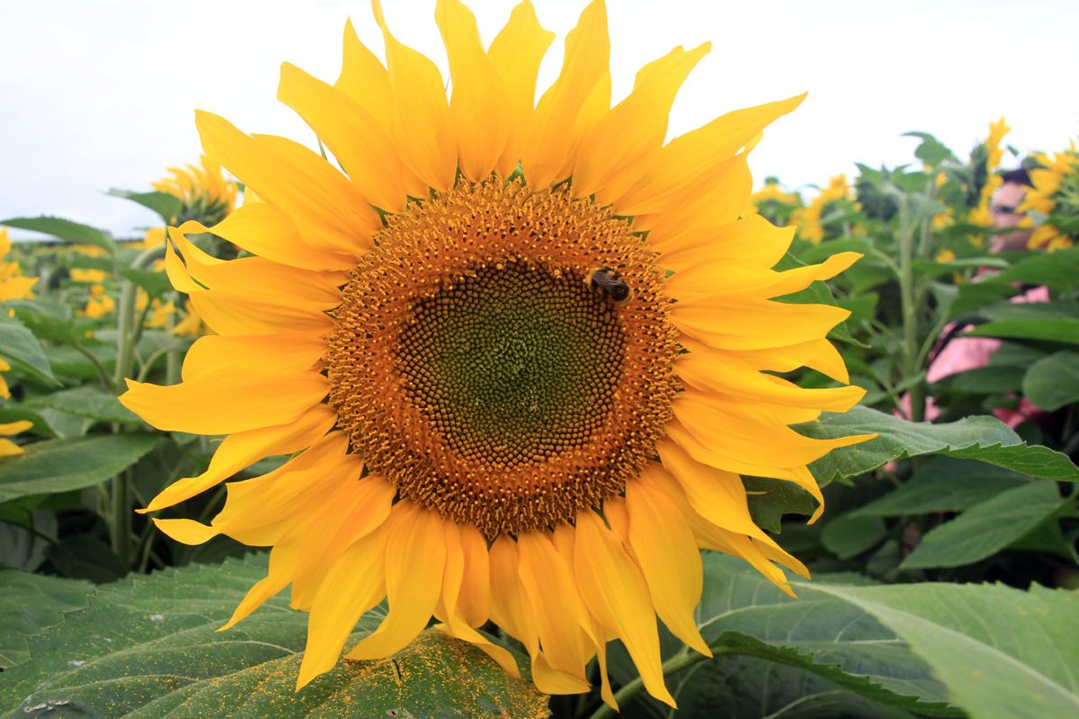 sunflower-crop-8
