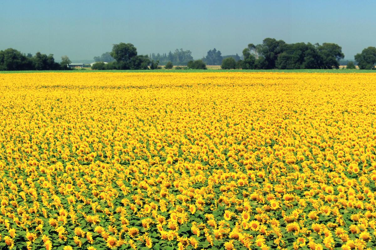 sunflower-crop-9